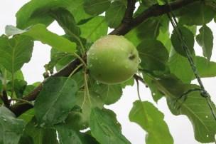 """Einer von zwei Äpfeln des """"Rheinlands Ruhms"""""""