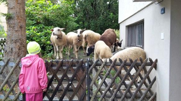 """Im """"Sommer"""" sind unsere Schafe ausgebüxt ..."""