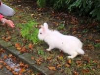 Im benachbarten Friedhof Nordheim wurden zwei Löwenköpfchen Kaninchen ausgesetzt