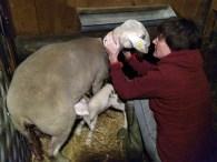 Aller Anfang ist schwer, Schafhebamme macht Stillberatung bei Delana