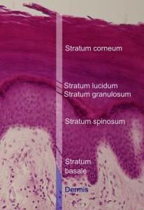 皮膚表皮層解說圖