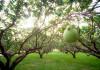 中秋節吃柚子或文旦(圖片來源:作者Tony Tseng,C.C. License)https://flic.kr/p/uzWApW