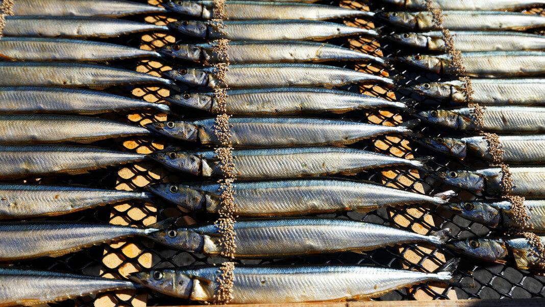 秋刀魚線蟲超標