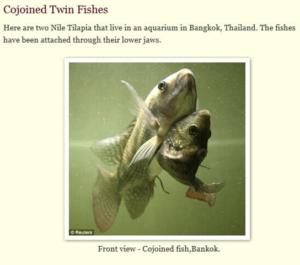 連體魚其實來自泰國,而且是淡水魚。(圖翻攝知乎)