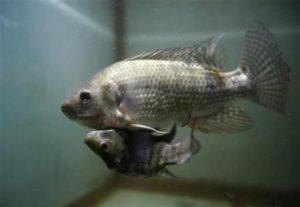 變異魚類2,連體魚(圖翻攝網路)
