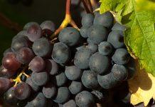 無籽葡萄怎麼種的