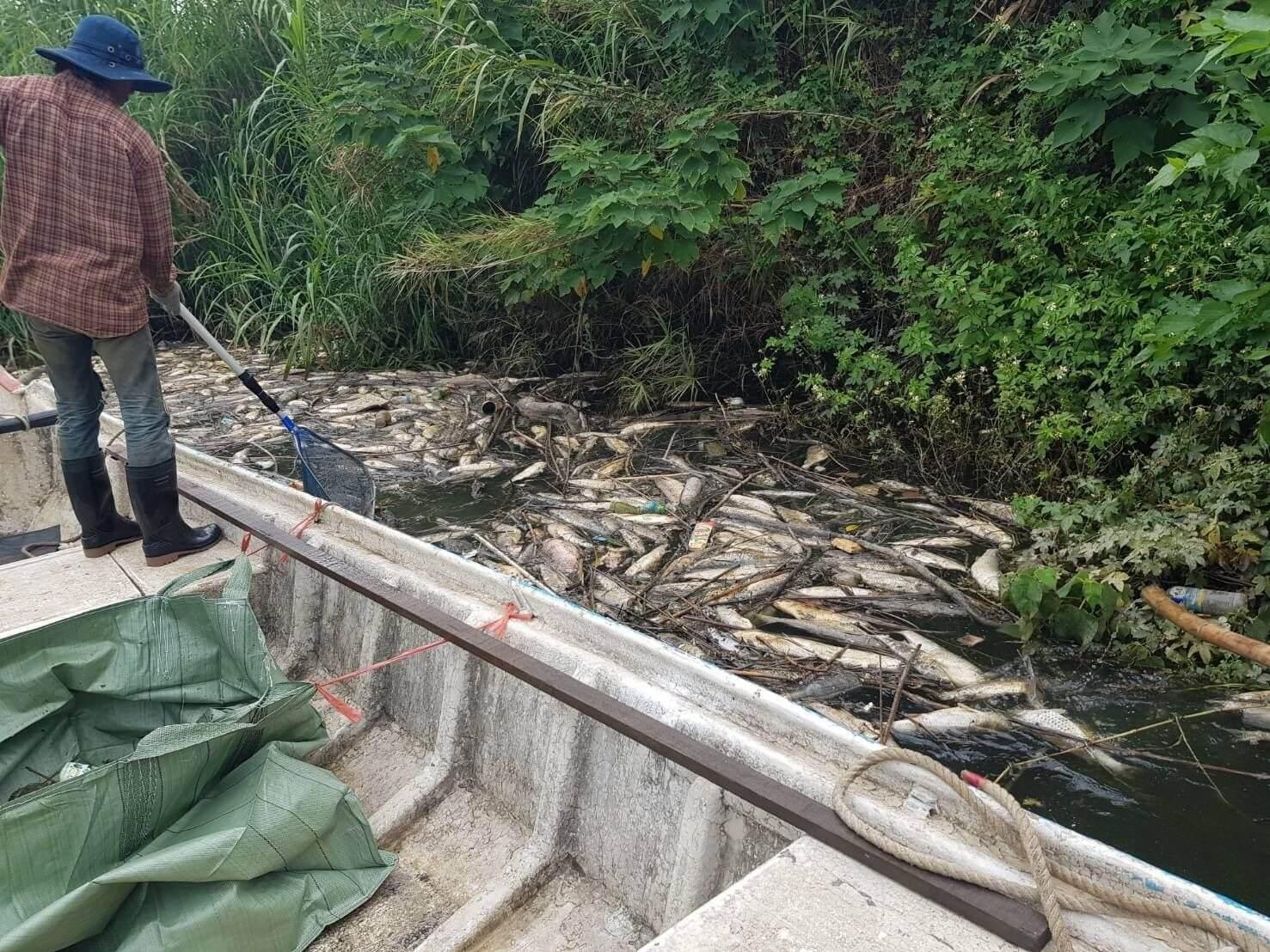 全力清除魚屍中。(圖/新北市水利局提供)