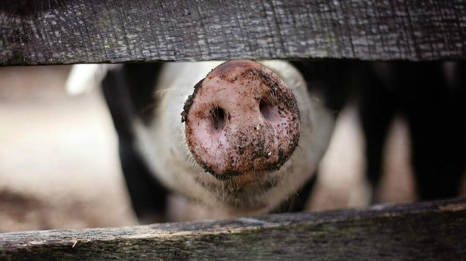 非洲豬瘟會透過候鳥或海洋食物鏈傳播嗎