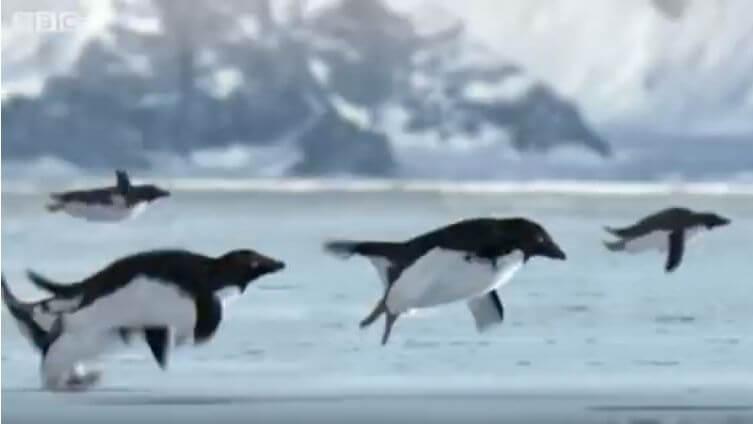 BBC首次拍下企鵝飛天的奇景 ?別上當,這是2008年愚人節影片啊!