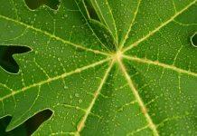 Youtube影片說 木瓜葉茶治百病 ?這麼猛的話,醫生都失業啦!(圖片來源:https://pixabay.com)