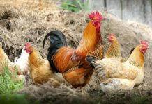 雞被打生長激素(圖翻攝自網路)