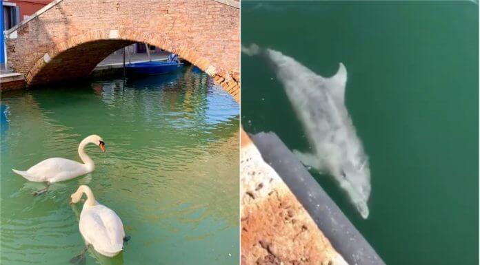 武漢肺炎讓海豚、天鵝重返 威尼斯運河 好感動?不好意思,這些都是假新聞