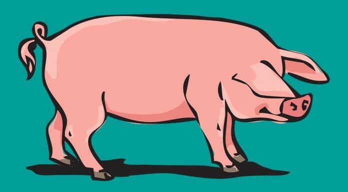 農委會准許台灣養豬戶可以使用萊克多巴胺 ?農委會澄清:不可能開放使用(圖片來源:https://pixabay.com)