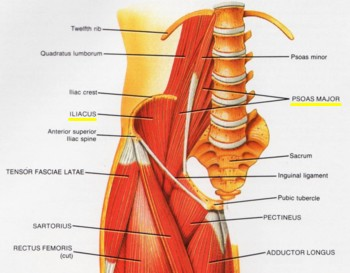 front leg ligament diagram ford 302 engine parts runner's & triathlete's web sportsmedicine: hip pain - iliopsoas tendonitis and syndrome
