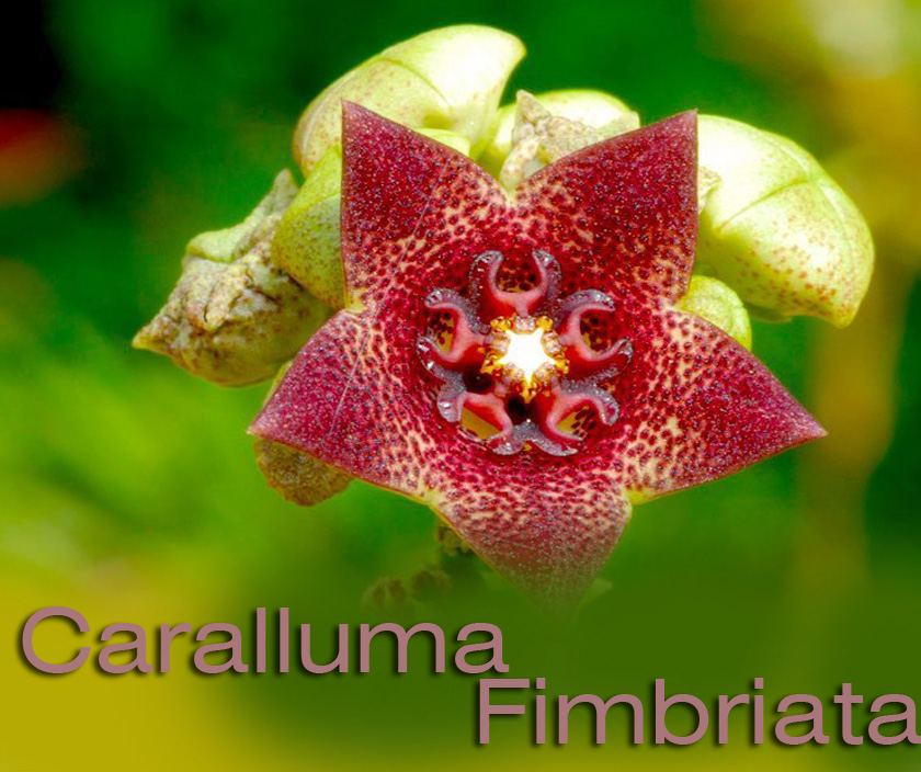 Caralluma Extract : All natural Appetite Suppressant