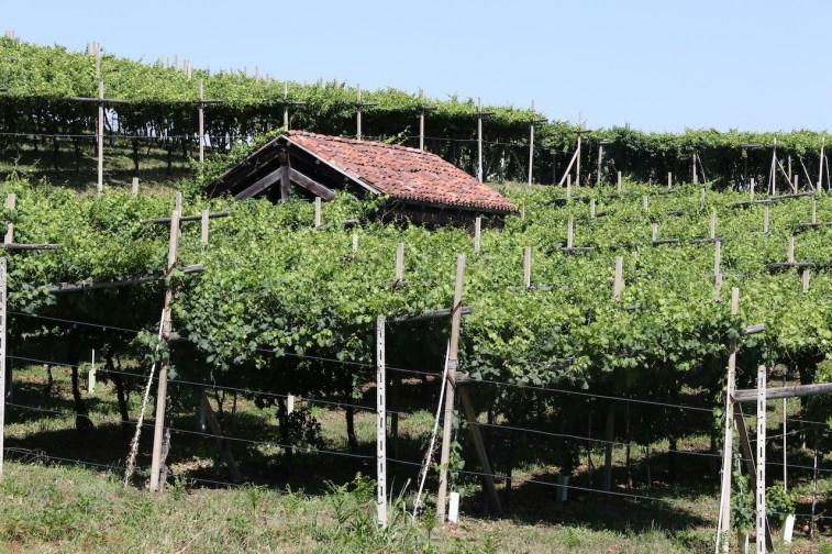 vigne canavese