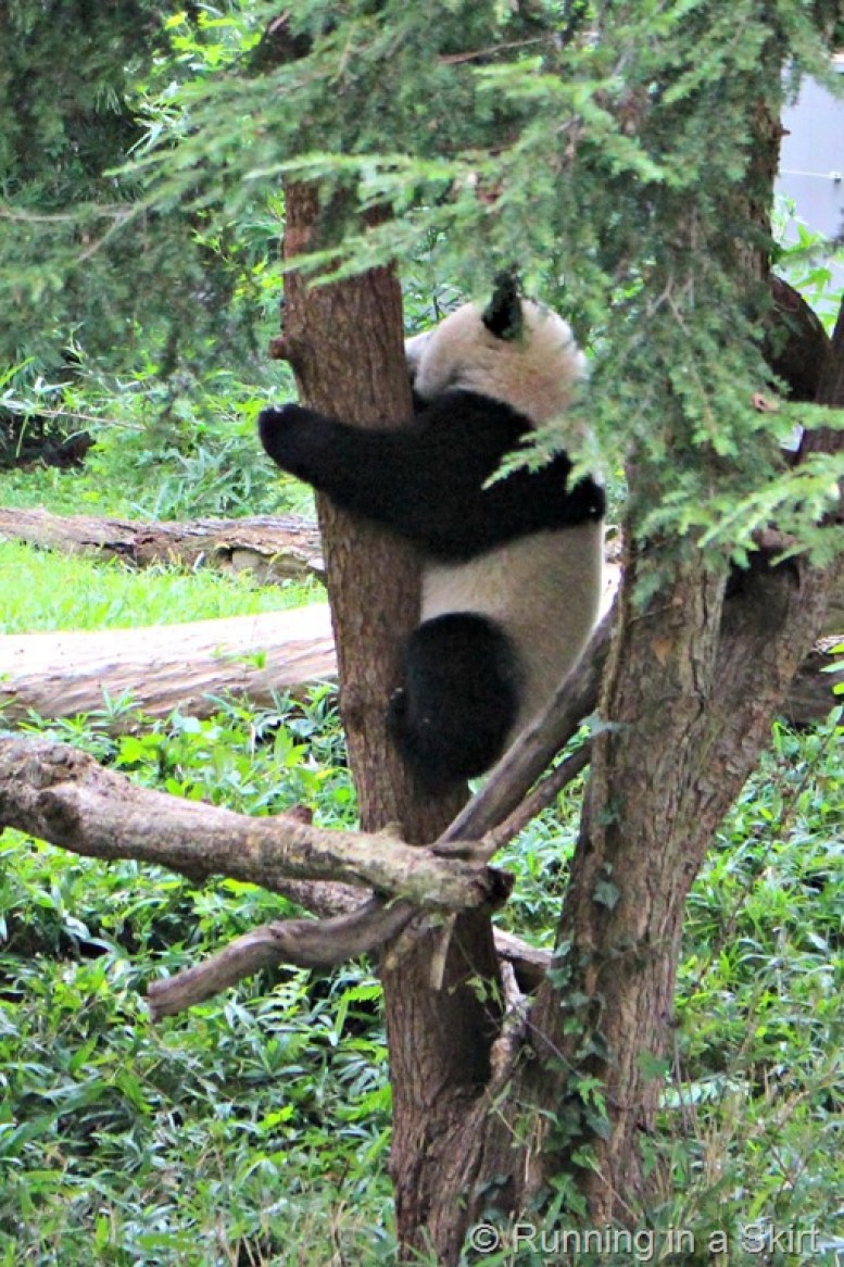 national_zoo_baby_panda.jpg