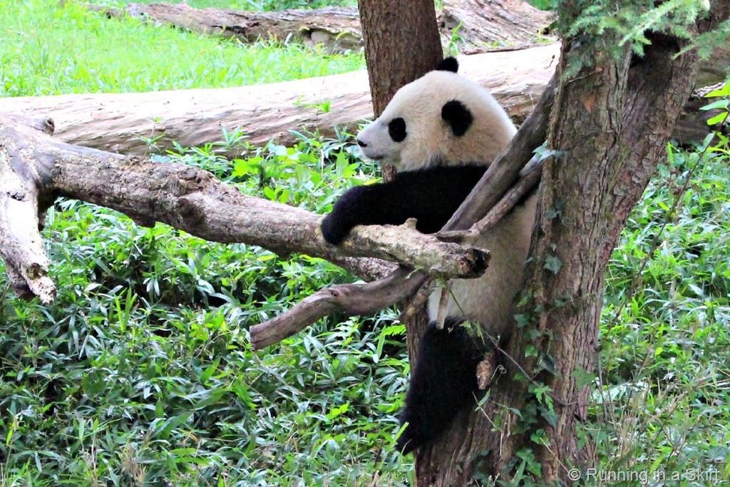national_zoo_baby_panda_2.jpg