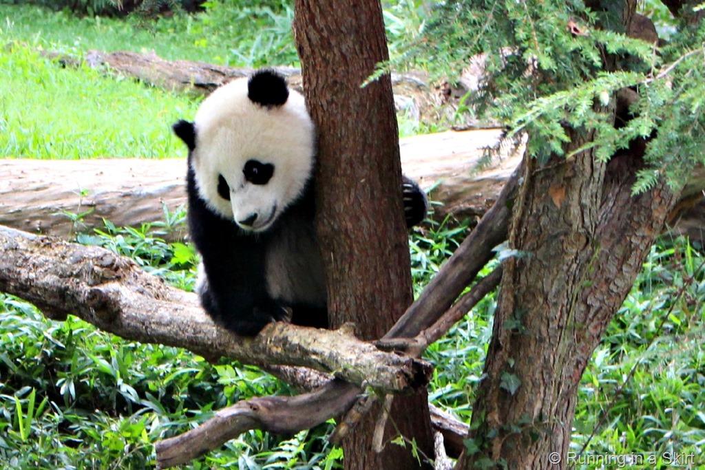 national_zoo_baby_panda_3.jpg