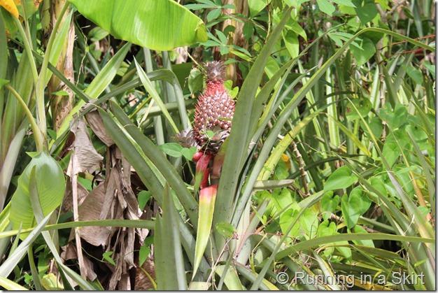 Black Pineapple Antigua