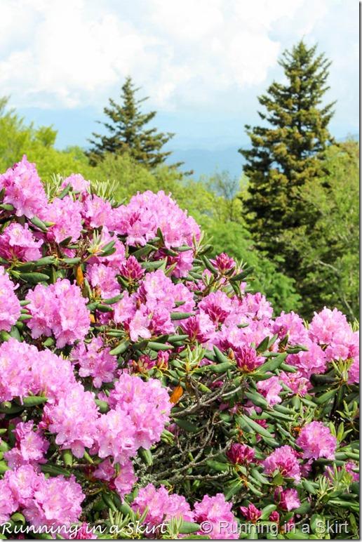 craggy gardens rhodeodendrons-2