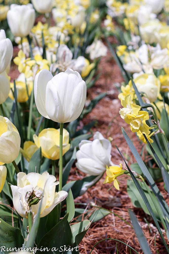Biltmore Blooms - Tulips