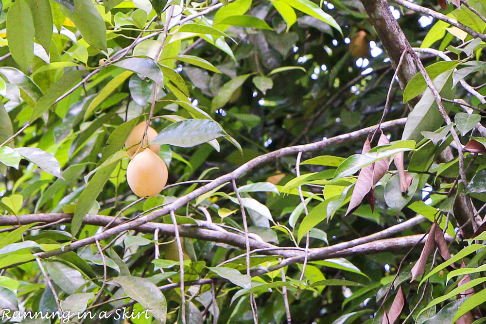 Grenada Nutmeg Tree