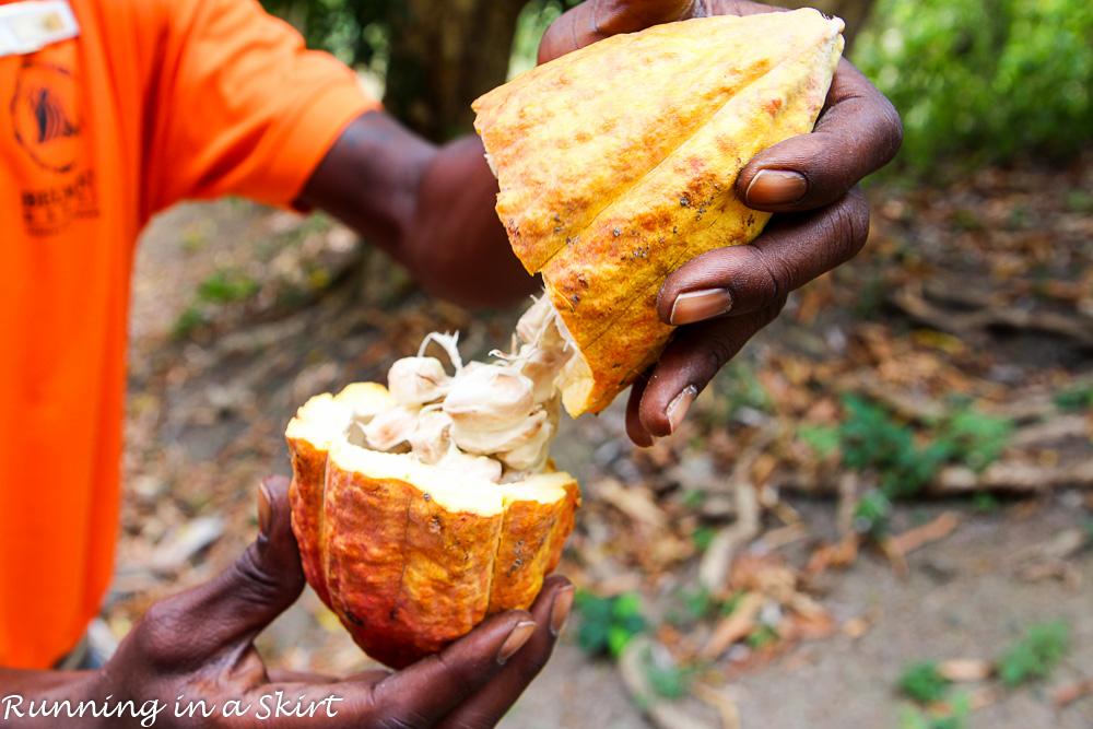 Grenada cocoa pod (2)