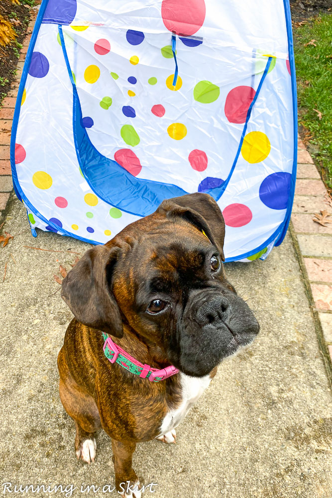 Boxer with toy tunnel.