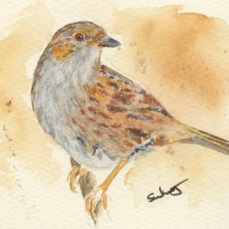 Watercolour painting. SWA008 - Dunnock.