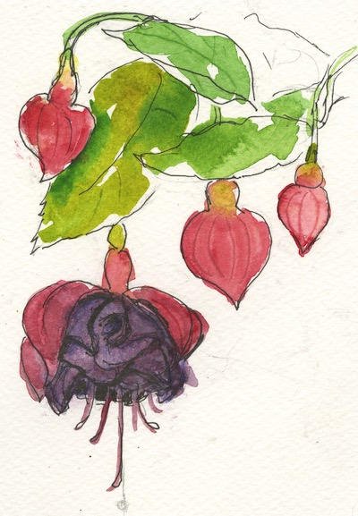 Watercolour painting. IFA002 Fuchsia. Artist: Isabel Frias de la Uz