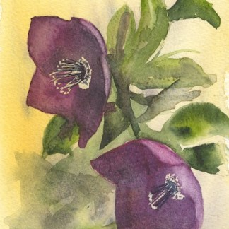 Watercolour painting. RWB0241 Two Helebores.