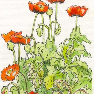 Watercolour and ink painting. FGA002 Poppies by my studio. Artist: Fran Godwood