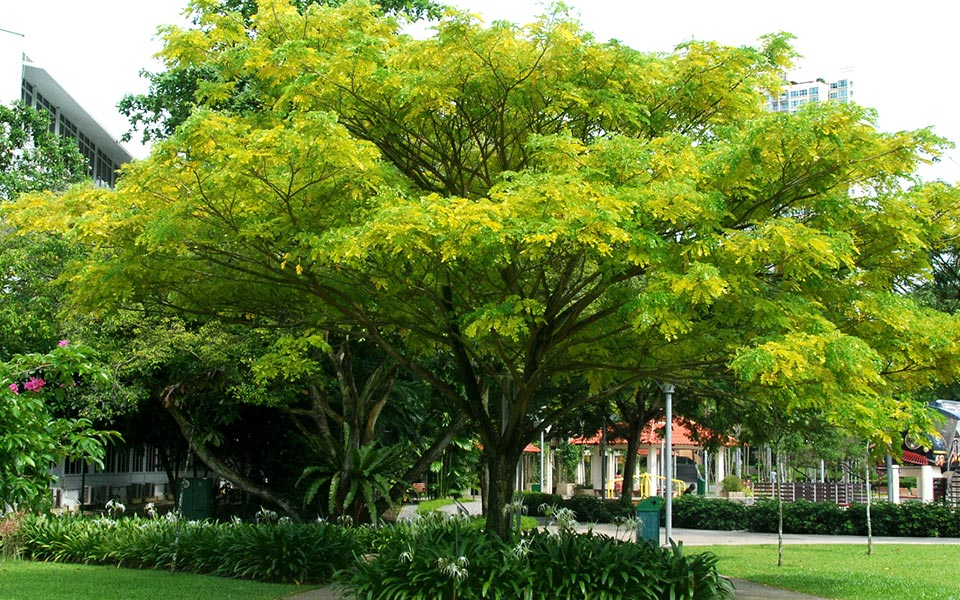 10 Types of Trees Runners Can See Along Singapore Roads