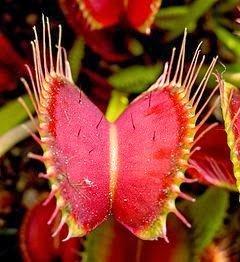نباتات مفترسة : شاهد كيف تصطاد النباتات آكلة الحشرات فرائسها – فيديو