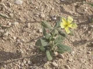 فوائد فطر الفقع ( الكمأة ) أغلى أنواع الفطر في العالم 1