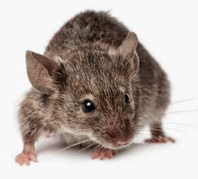 طرد الفئران من المنزل او الحديقة والتخلص منها طبيعيا 1