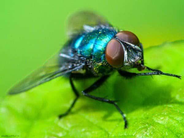 الذباب الأزرق : ما قصة هذا الذباب و لماذا يضرب به المثل ؟