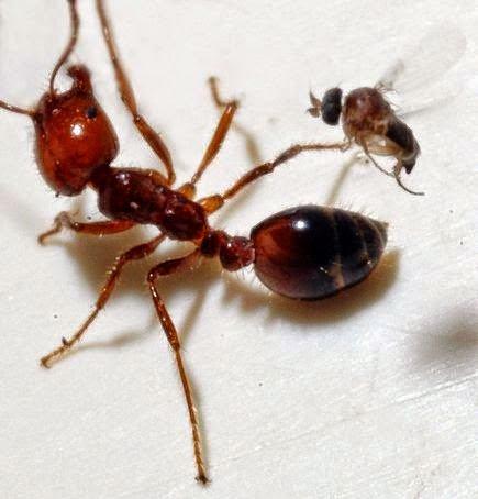 النمل الناري آكل اللحوم الذي تقتله ذبابة بضربة واحدة ! 4