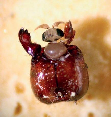 النمل الناري آكل اللحوم الذي تقتله ذبابة بضربة واحدة ! 1