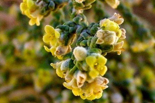عشبة المتنان ( نبات المثنان ) فوائد عديدة و لكن ... 2