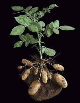 7 طرق لزراعة البطاطس (البطاطا) بنفسك في منزلك 3