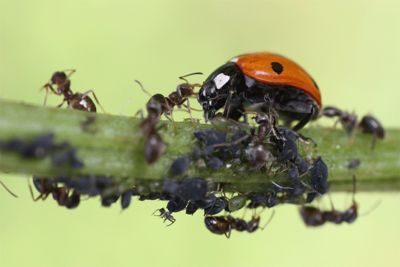 بالصور و الفيديو : سر العلاقة الغريبة بين النمل و حشرة المن 5