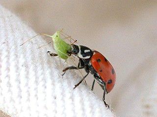 بالصور و الفيديو : سر العلاقة الغريبة بين النمل و حشرة المن 3