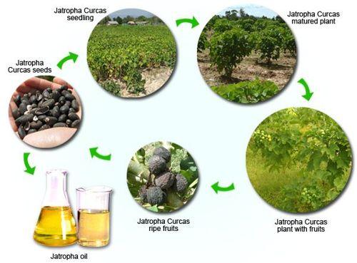 مراحل شجرة الجاتروفا
