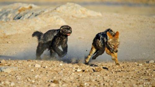 غرير العسل يطارد ذئب