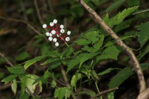White baneberry, doll's eyes, Actaea pachypoda