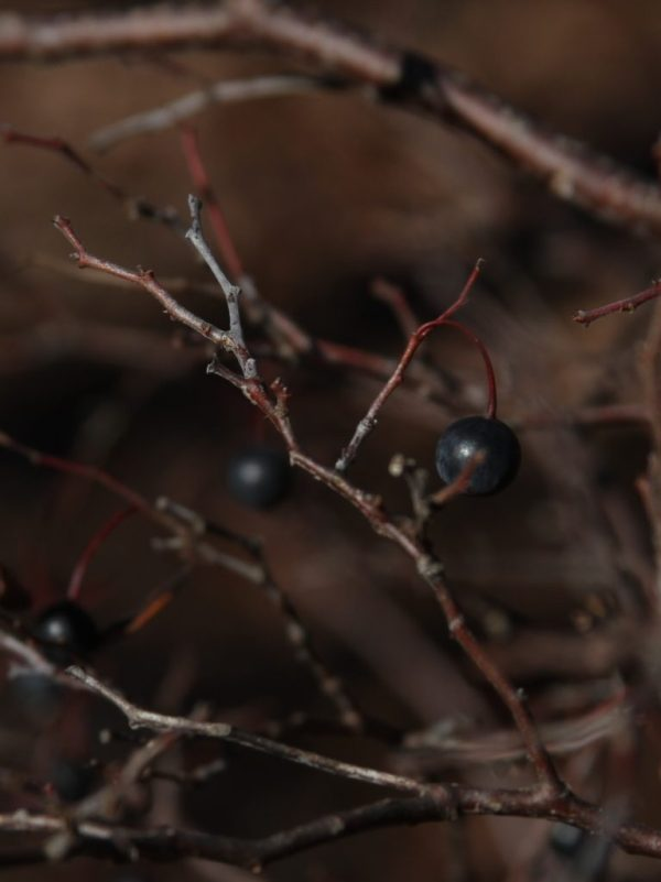 A ripe farkleberry from the Wild Ozark woods.