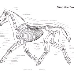Horse Muscle And Bone Diagram 98 Honda Accord Ignition Wiring Harness Parts On Pinterest Horses Draft