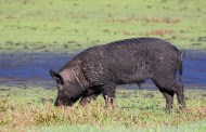 Feral Hogs test positive for fatal disease